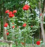 bill roses
