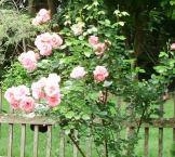 june 2015 pink roses